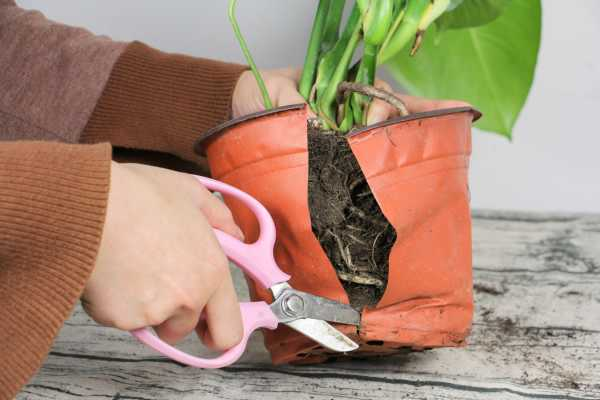 龟背竹的介绍,龟背竹的花语