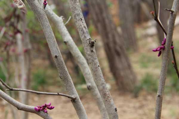 紫荆的虫害及防治方法