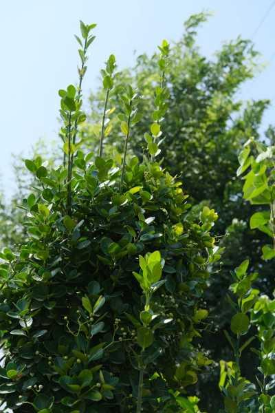 黄杨的病虫害及其防治