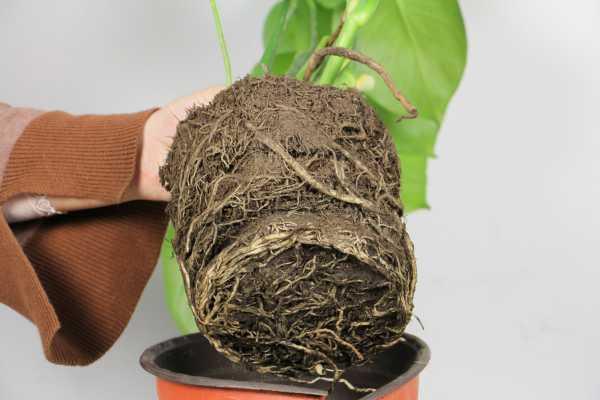 龟背竹叶子不开背正常吗,如何促使开背
