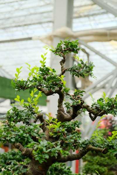 榆树如何养根,老榆树桩没根能栽活吗