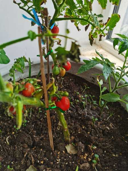 番茄汁的功效与作用,番茄汁怎么做