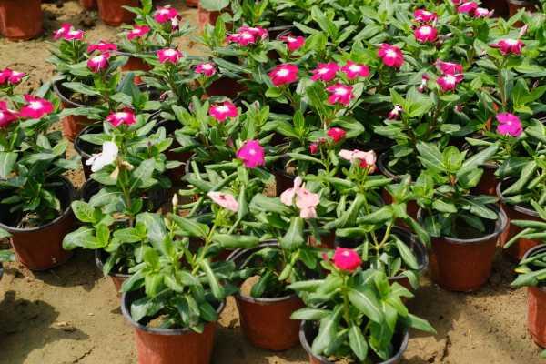 长春花扦插方法,怎么水培生根