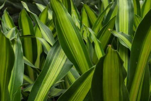 巴西铁树叶子发黄的原因