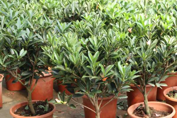 盆栽山茶花落叶是什么原因,什么时候开花