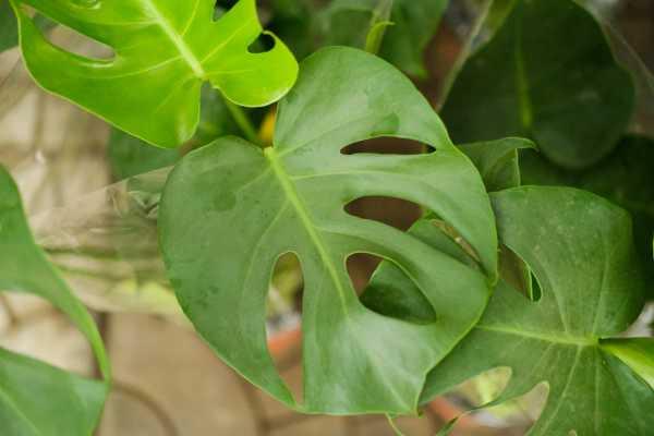 龟背竹换土后叶子下垂的原因