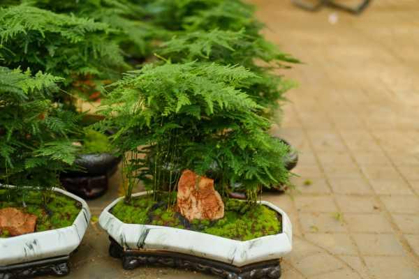 怎样让文竹变绿