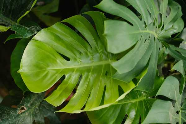 龟背竹叶子发黄怎么回事