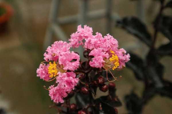 紫薇花的常见虫害及防治方法