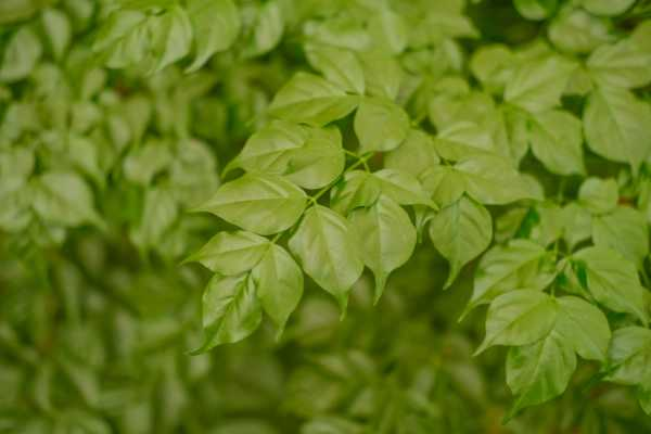 幸福树的扦插季节和方法,幸福树新枝可以扦插吗