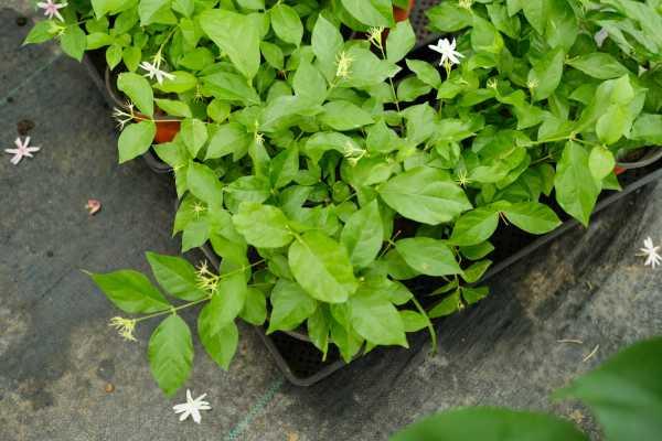 茉莉花适合在什么土壤中生长,茉莉花好养吗