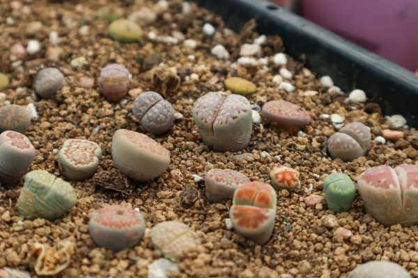 新买的生石花怎么养