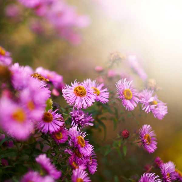 多头菊什么时候开花(花期介绍)