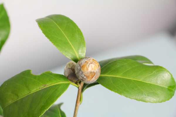 茶花移盆卷叶子怎么办
