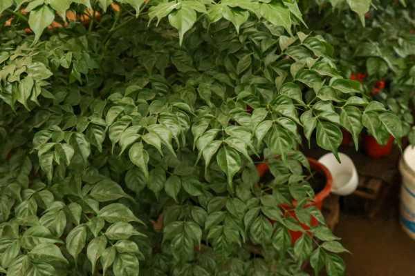 幸福树叶子下垂发蔫是怎么回事,叶子干枯怎么回事