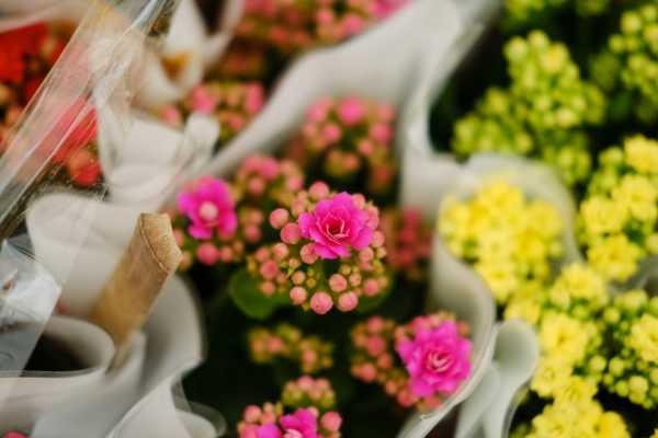 长寿花是什么花,是室内还是室外