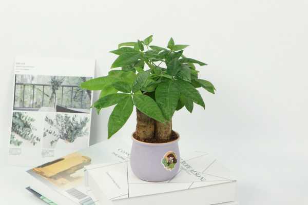 发财树小苗多少钱一棵,怎么种植方法