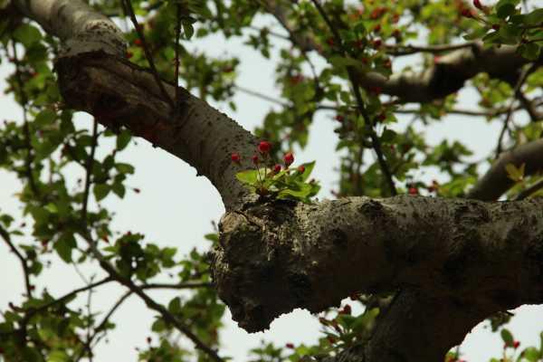 桂花叶子有锈斑怎么治,干枯怎么急救