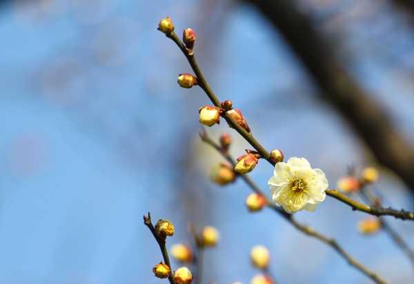 移栽梅花多久能生根,梅花何时移栽易成活