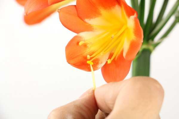 君子兰不开花是什么原因,需要怎么处理