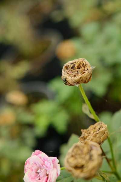 十大勤花月季品种,十大名贵月季品种