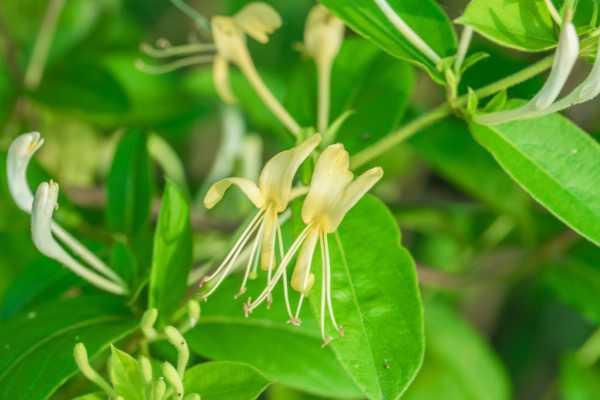 金银花叶子的功效与作用,叶子可以泡水喝吗