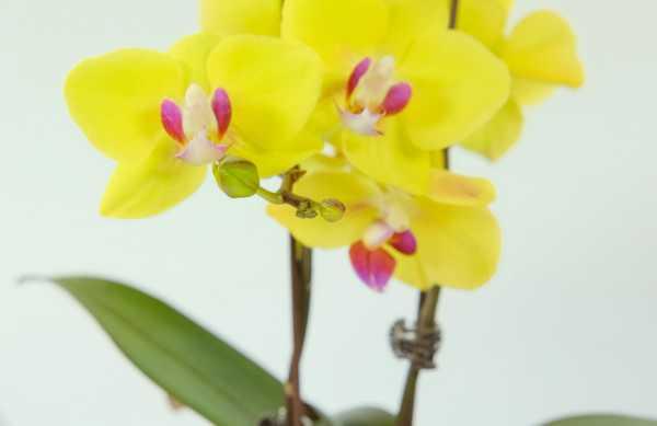 蝴蝶兰花期是一次性吗
