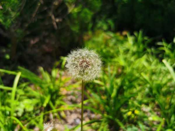 蒲公英是花还是草,蒲公英是一种什么样的草