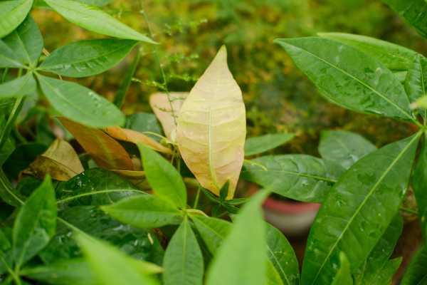 发财树叶子有大片白斑怎么办