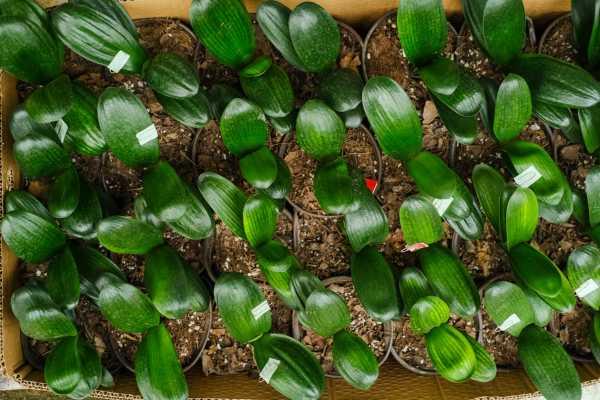 君子兰小苗冬季的养护,可以用磷酸二氢钾吗
