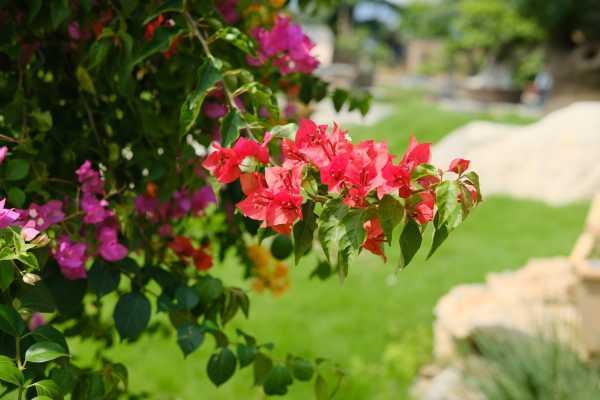 三角梅是什么科植物,扦插方法图解