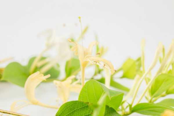 金银花的病虫害及其防治