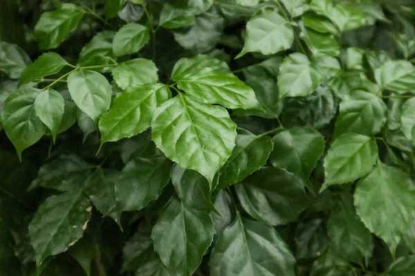 绿宝树常见病虫害及防治方法