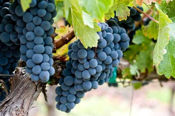 葡萄有什么营养和功效,有什么好处