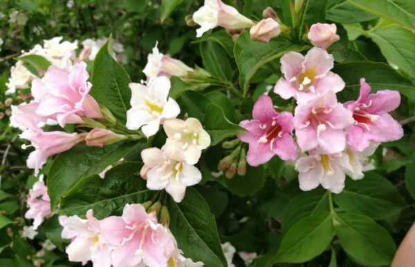 锦带花的花语和文化内涵