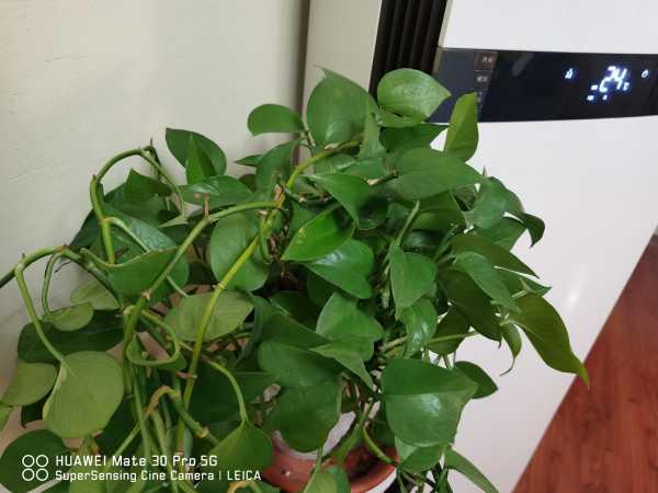淘米水兑点料,绿萝叶子绿得冒油,大白根能撑爆盆!