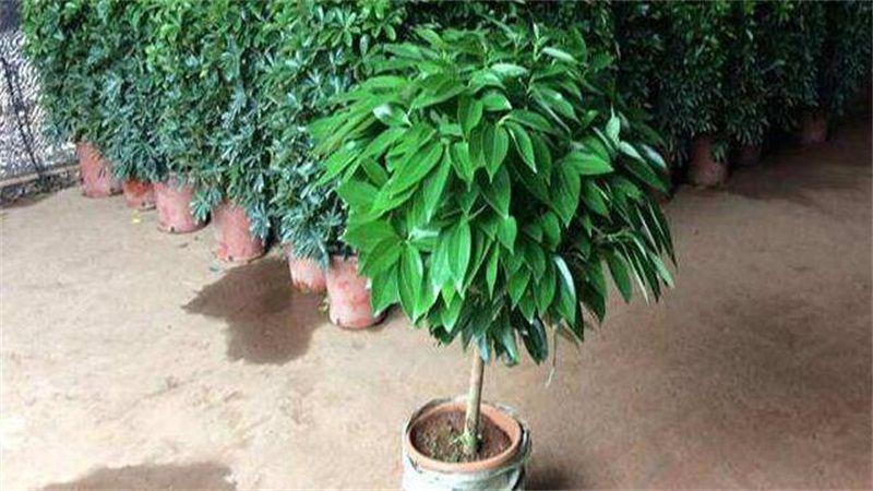 平安树怎么养?平安树的养殖方法和繁殖方法