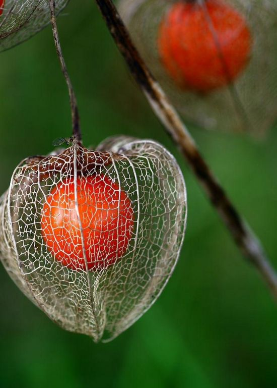 酸浆/姑娘果/灯笼果的种植方法与注意事项