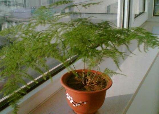 怎样给文竹换土,文竹用什么样的盆土养好