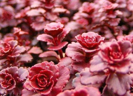 小球玫瑰怎么养更红,3个技巧让你的小球玫瑰红