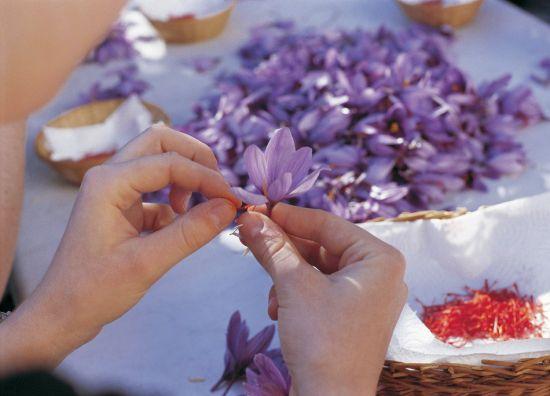 手工采摘番红花