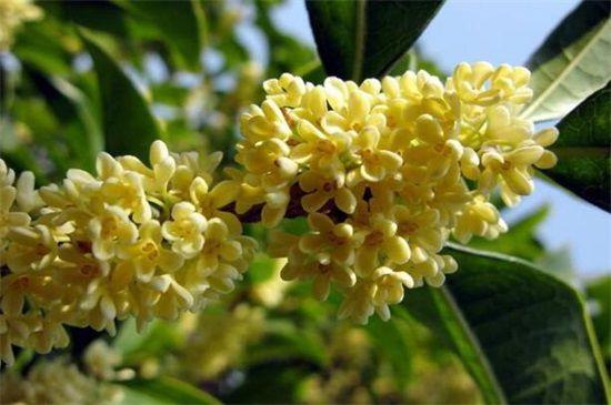 最适合桂花嫁接的四种树
