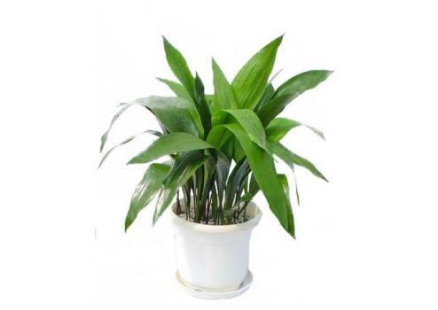 室内栽培的一叶兰