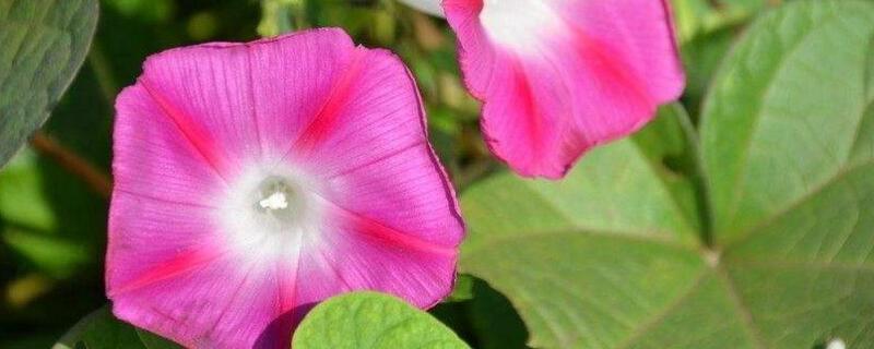 喇叭花什么时候开?喇叭花在6~10月份开花