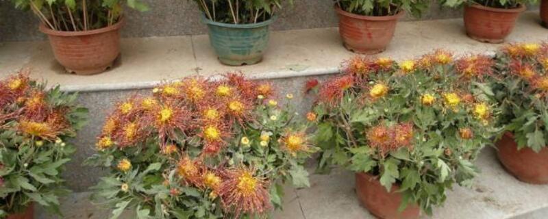 菊花可以四季都开花吗