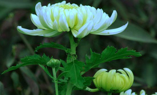 菊花有哪些栽培方式
