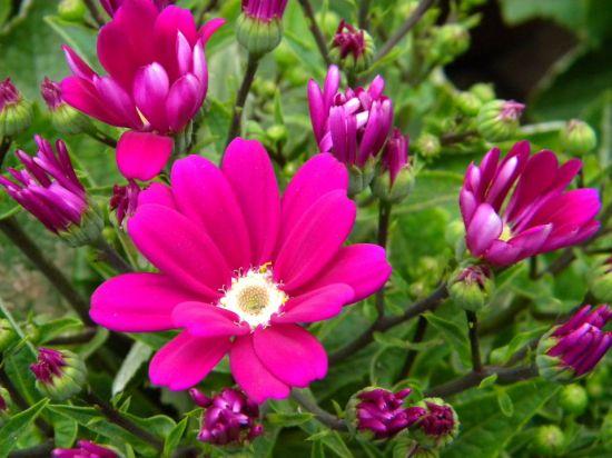 花大色艳的瓜叶菊