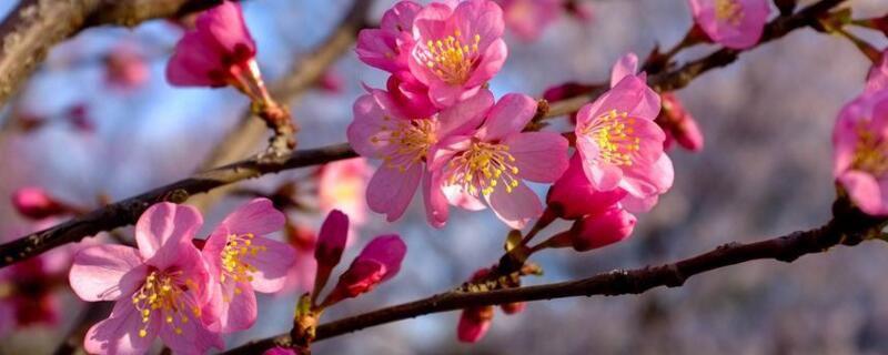 樱花品种有哪些?盘点十大樱花品种(附图片)