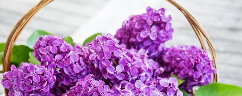 紫色勿忘我花语是什么