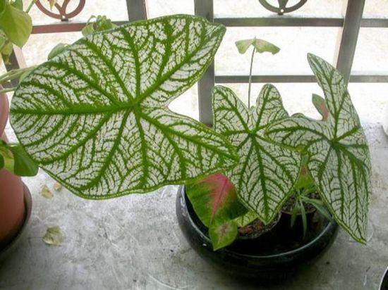 盆栽花叶芋